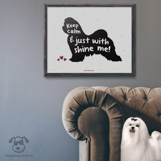 """Plakat """"Keep calm and just shine with me"""" idealny dla właścicieli psów rasy maltańczyk. Na prezent dla miłośnika zwierząt czy jako gadżet dla wielbiciela psów."""